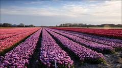 Colors in the late evening sun (Hetty S. (catching up)) Tags: light sun holland colors canon landscape eos evening spring view tulips tulip bulbs bergen lente hdr landschap tulpen bulbfield kleuren voorjaar bollenveld