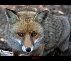 Earth Day - La Giornata della Terra (Jambo Jambo) Tags: park italy parco italia eu fox tuscany toscana grosseto maremma volpe alberese parcodellamaremma marinadialberese parcoregionaledellamaremma nikond5000 jambojambo