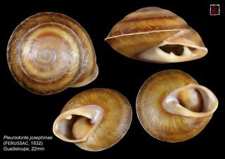 pleurodonte josephinae guadeloupe 22mm