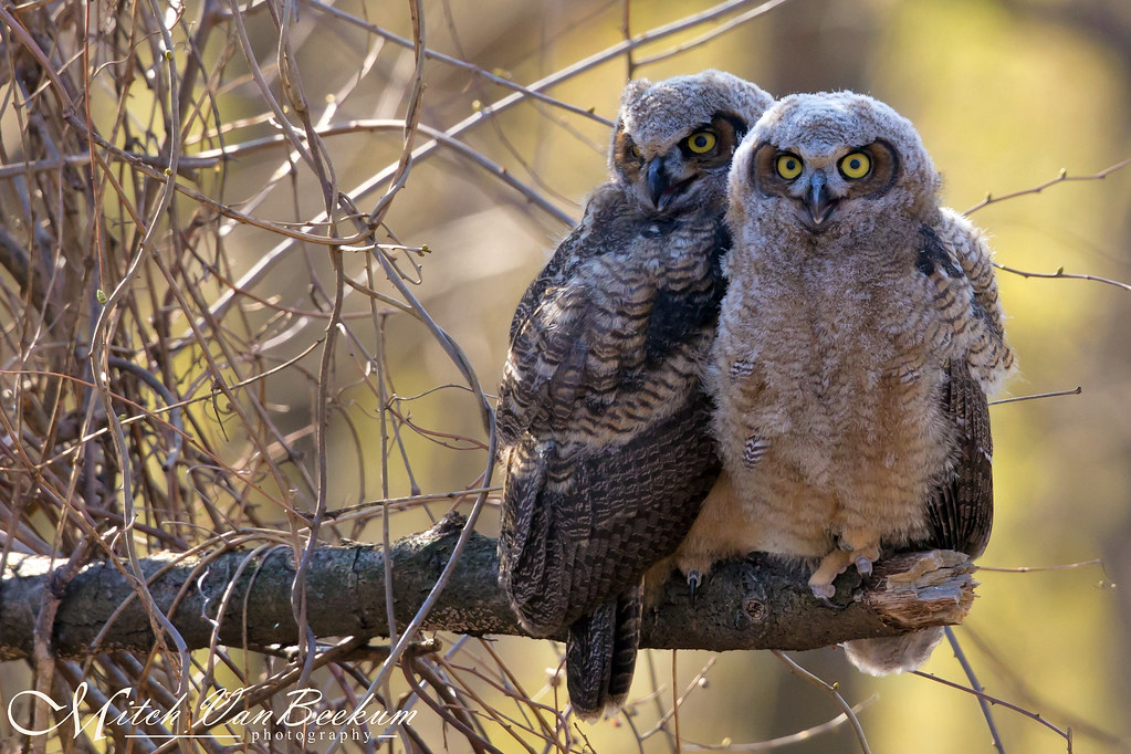 Two of a Kind (Great Horned Owl Fledglings)