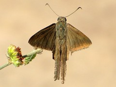 Mariposa Urbanus sp. (Chico_zoo) Tags: art nature animal insect photography arte natureza lepidoptera fotografia mariposa arthropod urbanus faunadorn