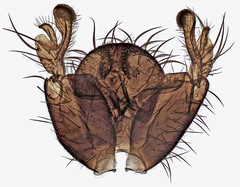 Saignsuia flaviventris, Trawscoed, North Wales, June 2014 3 (janetgraham84) Tags: flaviventris mycetophilidae saignsuia