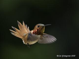Allen's Hummingbird with Tail Fan