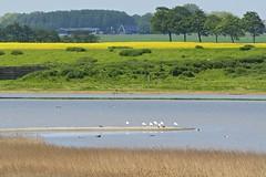 Breedbaart Polder (Harm Weitering) Tags: nature water netherlands birds nederland vogels natuur groningen lepelaar waddenkust breedbaartpolder