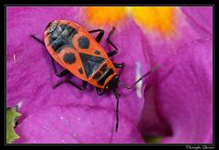Gendarme (Pyrrhocoris apterus) (cquintin) Tags: arthropoda pyrrhocoridae heteroptera pyrrhocoris apterus macroinsectes