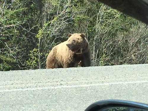 Grizzly feeds by highway