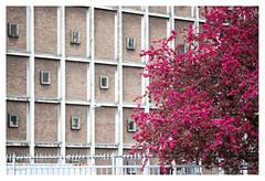 Contrast (leo.roos) Tags: red tree lens prime rotterdam blossom cosina boom warehouse fl rood bloesem challenge cv day125 pakhuis focallength primes lenzen katendrecht dyxum a99 darosa brandpuntsafstand voigtlandermacroapolanthar12525sl leoroos dayprime dayprime2016