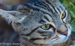 Something bad to do???? (frederic.gombert) Tags: portrait white macro green eye look yellow cat garden nose eyes nikon feline tiger ear bengal felin greatphotographers d810 macrodreams