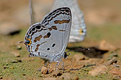 Tongeia potanini - the Dark Cupid (BugsAlive) Tags: macro nature animal butterfly insect thailand outdoor wildlife butterflies insects lepidoptera chiangmai lycaenidae polyommatinae liveinsects thailandbutterflies  tongeiapotanini chiangdaons darkcupid