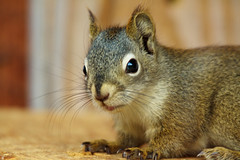 So Cute (blkwolf1017) Tags: baby alaska rodent squirrel tworivers canon50d sigma150500mm