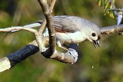 Tufted Titmouse, Baeolophus bicolor (1) (Herman Giethoorn) Tags: titmouse songbirds