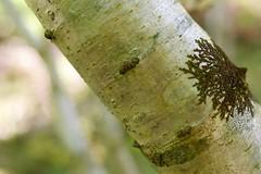 Heddon Valley Lichen (nonsuchtony) Tags: sea tree mouth devon valley lichen heddon heddons heddonsvalley