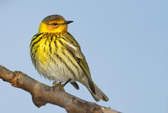 Cape-may Warbler (mandokid1) Tags: birds canon warblers