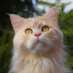 The Linus (FocusPocus Photography) Tags: pet animal cat chat linus gato katze haustier kater tier