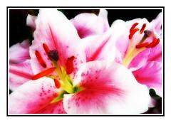 lilies on my mind (kurtwolf303) Tags: plant macro nature topf25 topf50 topf75 colorful 500v20f natur blossoms lilies makro farbig bunt nahaufnahme orton digitalphotography blten compactcamera lilien 900views 1000v40f 250v10f unlimitedphotos nikoncoolpixs9900 kurtwolf303