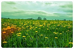 The plural of Dandelion is Dandelions (DjD-567) Tags: yellow weeds meadow nh dandelion boscawen