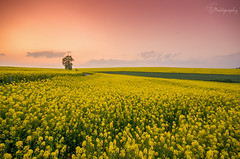 """Every day may not be good... but there is something good in every day"" (patiigraphy) Tags: flowers sunset tree nature colors beauty field yellow landscape outside pentax outdoor sigma poland polska k5 colza patii sigma1020 pentaxk5 patiigraphy"