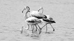 Ameenpur Visitors ($udhakar) Tags: bird water birds pentax flamingo visitors hyderabad 169 greaterflamingo teleconverter 510mm migratorybirds f67 11250s 17xteleconverter justpentax wwwsudhakarcom smcpda300mmf4edifsdm summer2016 smcpf17xtc pentaxk5 smcpf17xafadapter ameenpur