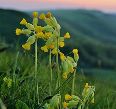IMG_2233 (Mal Grey) Tags: sunset orchids southdowns devilsdyke truleighhill