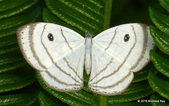 Metalmark butterfly, Mesosemia sp., Riodinidae (Ecuador Megadiverso) Tags: butterfly ecuador metalmark riodinidae mesosemiasp