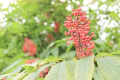Berries (tammydesu) Tags: wild macro nature fruit berries outdoor