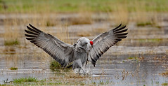 Sandhill Crane. _H353448 (Peacefulbirder) Tags: west richland