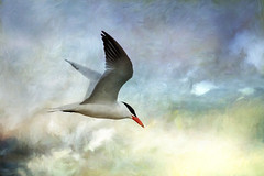 Caspian Tern: Relentless (Johnrw1491) Tags: art nature animals digital photography notes artistic wildlife flight creative illustrations portraiture caspian tern avian seabirds relentless interpretive