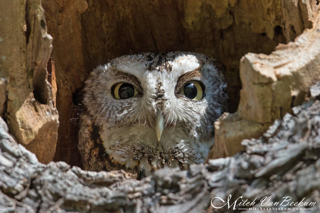 Peekaboo! (Eastern Screech Owl) EXPLORED