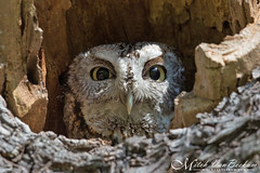 Peekaboo! (Eastern Screech Owl) EXPLORED (Mitch Vanbeekum Photography) Tags: wild ny newyork bird wildlife owl screech westchestercounty easternscreechowl screechowl canonef500mmf4lisiiusm canoneos1dx canon14teleconvertermkiii mitchvanbeekum mitchvanbeekumcom