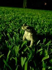 Gulf Coast Toad (MandaMalice) Tags: nature photography coast backyard texas gulf reptile wildlife amphibian frog toad iphone gulfcoast naturephotography backyardwildlife thirdcoast gulfcoasttoad wildlifephotography backyardphotography iphonephotography texasgulfcoasttoad