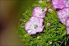 Flower (franciska_bosnjak) Tags: flower nature drops nikon outdoor raindrops waterdrops d3100
