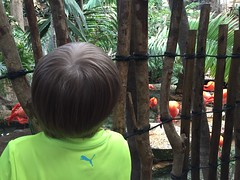 "Paul Watches Flamingos at the Dallas Aquarium • <a style=""font-size:0.8em;"" href=""http://www.flickr.com/photos/109120354@N07/27244273054/"" target=""_blank"">View on Flickr</a>"