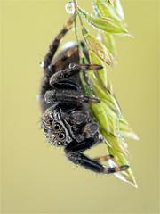 Araigne sauteuse (Pitrus...) Tags: macro spider jumping olympus makro zuiko omd araigne araignes pajak skakun em5 pitrus 6028 sauteuses