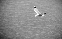 Mouettes (Frdric THIBAUD Photo) Tags: bw white black bird noir seagull nb toulouse blanc oiseau mouette
