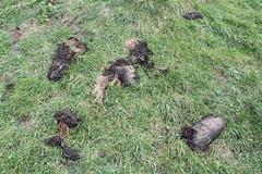 IMG_3082 (De Tuinen van Servaas en Dorothe) Tags: duiven mest dakgoot stof gebinte