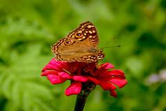 On my throne (malc1702) Tags: peacockpansy butterfly flowers zinnia butterflyonaflower nature garden flower beauty grace nikond7100 nikkor18140mm closeup outdoors flickrunitedaward