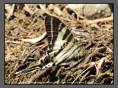 Kite swallowtails (Douglas Dew butterflies) Tags: four barred swordtail protographium leosthenes