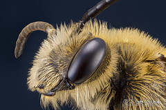 Bee (Karlgoro1) Tags: macro eye animal closeup canon bug insect eos photo eyes focus stack bee 7d f28 stacker mpe 65mm explored zerene macrolife