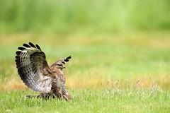 Common Buzzard (Buteo,buteo) (Ady G.) Tags: canon wildlife raptor buzzard buteobuteo birdofprey 1d4 500f4