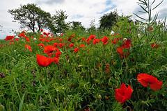 Nature fleurie (Excalibur67) Tags: flowers red fleurs landscape rouge nikon sigma poppies d750 paysage papaver coquelicots pavots 1224f4556iidghsm