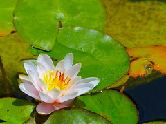 koi pond lily (Kazooze) Tags: flower lily waterlily lilypads water nature outdoor plants dmslair diamondclassphotographer flickrdiamond