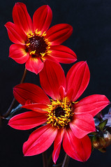 Welcome Summer ! (AnyMotion) Tags: dahlia flowers red summer plants rot nature floral colors colours estate midsummer blossom frankfurt sommer ngc natur pflanzen blumen npc zomer verano t blte farben summersolstice 6d 2015 dahlie sommeranfang anymotion sommersonnenwende beginningofsummer dahliabishopofllandaff canoneos6d
