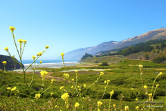 Yellow Flowers Near Ragged Point (Phil Davis NY) Tags: california one coast los big highway san francisco pacific angeles sur