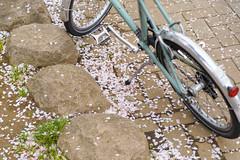 DS7_1384.jpg (d3_plus) Tags: street sky plant flower macro nature bicycle japan walking cycling spring scenery cloudy bokeh outdoor daily bloom  cherryblossom  sakura streetphoto yokohama  tamron     dailyphoto   kawasaki  thesedays pottering           tamronspaf2875mmf28 2875   2875mmf28  tamronspaf2875mmf28xrdildasphericalif  tamronspaf2875mmf28xrdild d700  kanagawapref  nikond700  nikonfxshowcase