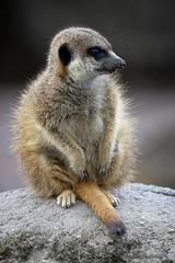 Suricata suricatta (JGOM) Tags: netherlands zoo arnhem nederland burgers burgerszoo dierentuin dierenpark burgersdierenpark