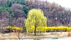 Willow Tree(버드나무) (Johnnie Shene Photography(Thanks, 2Million+ Views)) Tags: park trees light wild people plants lake plant colour macro tree nature horizontal canon lens landscape outdoors photography eos rebel one living spring focus scenery kiss natural image outdoor no wildlife south scenic reserve tranquility scene 11 korea images full willow single 28 colourful length tamron 90mm 90 surrounding f28 tranquil scenics freshness springtime selective t3i x5 salix organism goyang 나무 osier sallow fragility 식물 600d sallows osiers 버드나무