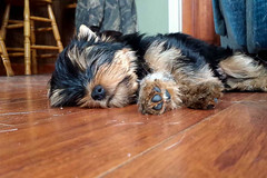 1426442679260.jpg (kelsey_scarborough) Tags: dog pet baby cute yorkie fur relax nose happy furry soft peace calendar fuzzy sleep adorable peaceful terrier rest paws csc blackandbrown yorksireterrier s2015 kelseyscarborough