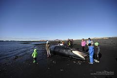 hgs_n3_037350 (Helgi Sigurdsson) Tags: boy sea people fish water girl dead iceland whale stranded sland reykjanes sjr helgi fjara flk hvalur garar sigursson sigurdsson gardar