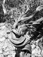 Twist (M1016322 E-M1 12mm iso200 f11 1_320s) (Mel Stephens) Tags: bw plants white holiday black silver cyprus olympus pro 28 gps f28 omd em1 2015 m43 q2 1240mm efex mirrorless microfourthirds mzuiko 201505 20150501