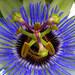 Passiflora / Passionsblume